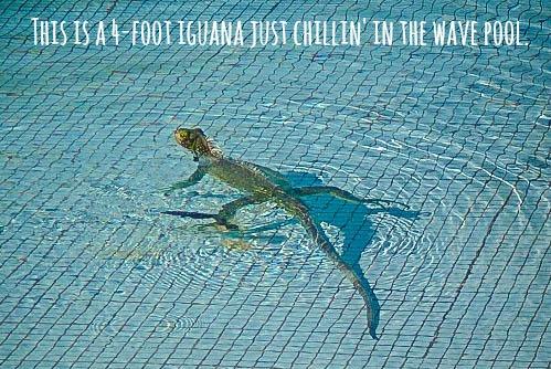 Iguana swimming in the pool in Venezuela