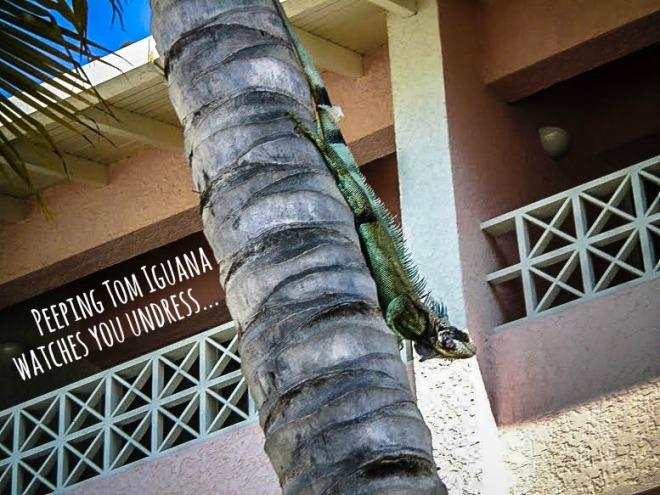 Nosey iguana Venezuela